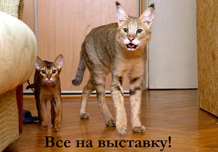 24-25 мая во Дворце Детей и Юношества пойдет выставка кошек МАЛК RUI