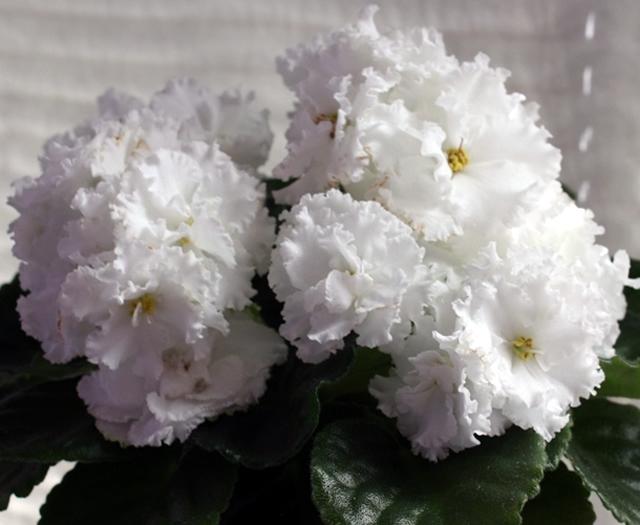 Белые фиалки