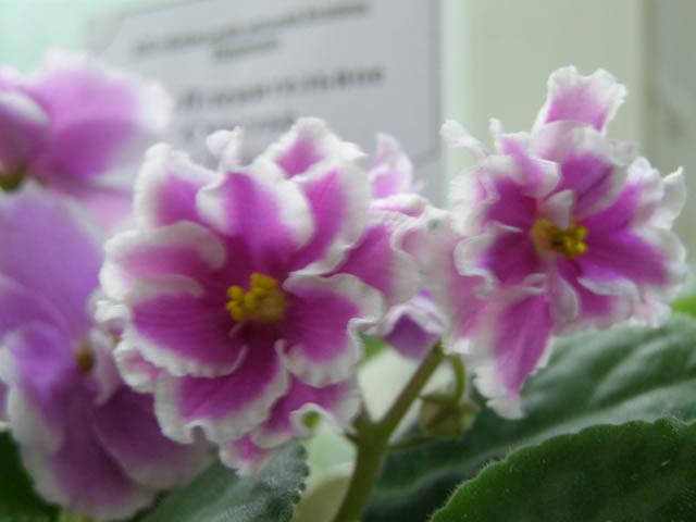 розовые фиалки на выставке в Киеве