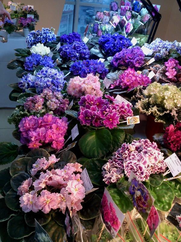 фиалки разных цветов - синяя, розовая, белая, фиолетовая