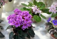 С 23 по 26 мая в Доме природы пройдет выставка фиалок, хост, растений-хищников, хой и других декоративных растений