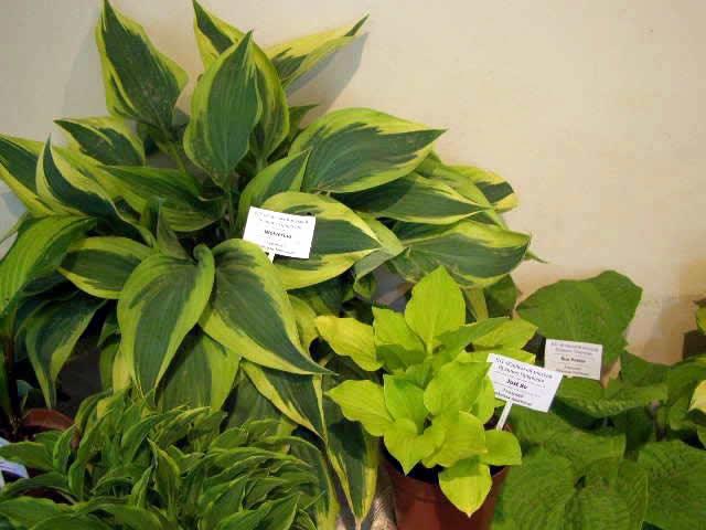 Выставка домашний растений  - хосты, фиалки и растения хищники