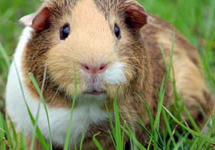 1 - 2 июня в Доме природы пройдет выставка морских свинок, карликовых кроликов и дегу
