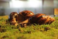 18-20 декабря в Доме природы пройдет выставка гигантских африканских улиток и других экзотических животных
