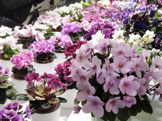 С 15 по 18 июля в Доме природы пройдет выставка фиалок и других комнатных растений